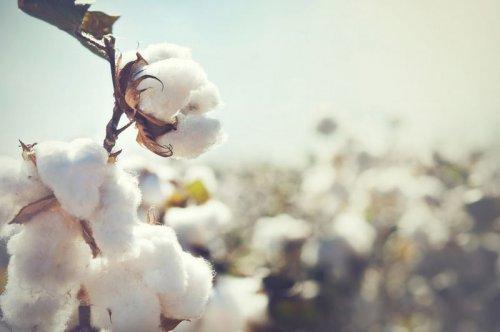 Fiasul - O algodão no Campo